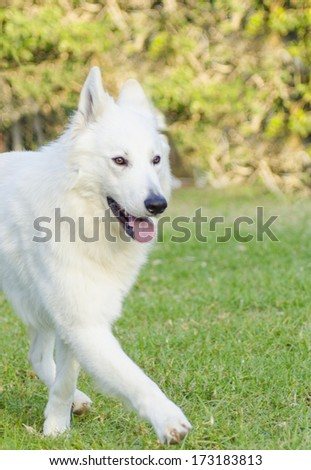 A young beautiful Berger Blanc Suisse dog walking on the grass. The White Swiss Shepherd dog looks like a German Shepherd. Distinctive for the long white coat and for being intelligent and courageous. - stock photo