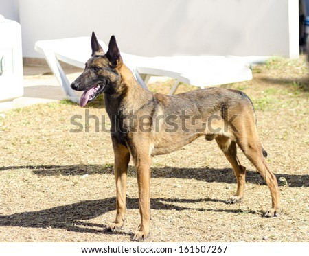 A young, beautiful, black and mahogany Belgian Shepherd Dog standing on the lawn. Belgian Malinois are working dogs, very intelligent and used in military and police. - stock photo