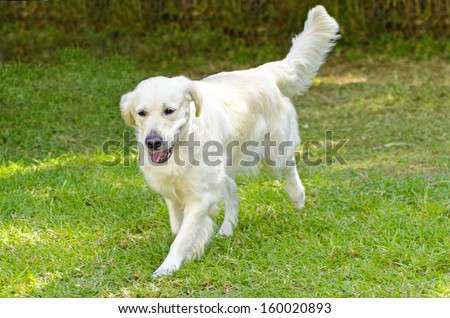 A young beautiful light golden retriever walking happily on the lawn. Known for their intelligence, being very friendly and excellent guide dogs - stock photo
