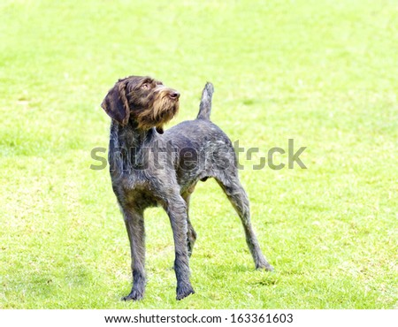 A young, beautiful, liver, black and white ticked German Wirehaired Pointer dog standing on the lawn. The Drahthaar has a distinctive eyebrows, beard and whiskers and straight harsh wiry coat. - stock photo
