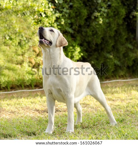 A young beautiful white labrador retriever standing happily on the lawn. Lab dogs are very friendly and usually used as guide dogs. - stock photo