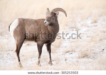 A young big horn sheep ram looking over his shoulder at more sheep behind him; full body - stock photo