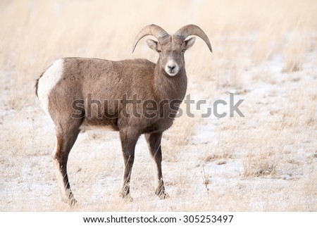 A young big horn sheep ram looks at photographer; full body  - stock photo