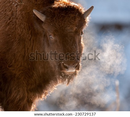 A young bison's breath shows due to frigid temperatures, looking at photographer, Yellowstone National Park in winter - stock photo