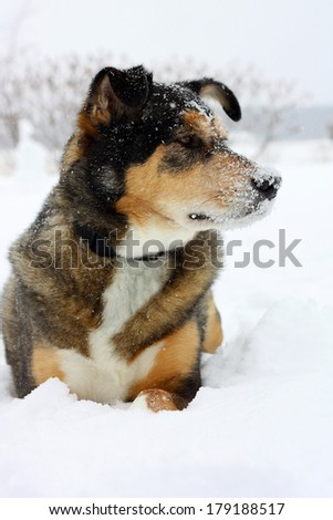 a young black and tan German Shepherd mix dog is laying in the snow, looking away from camera, with snowflakes on his face - stock photo