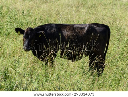 A young black pedigree heifer grazing on the Somerset Levels. The long grass gives a perspective on the size of Britain's smallest breed of cattle. - stock photo
