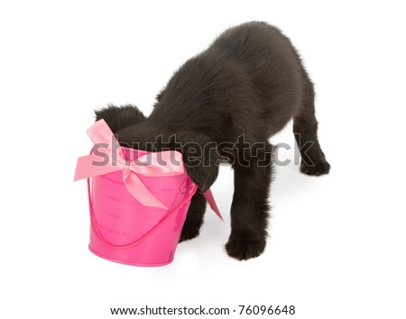 A young black puppy with his head stuck in a pink bucket looking for a surprise treat. - stock photo