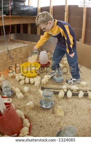 A young boy feeds baby chicks inside of a chicken house in Illinois (14) - stock photo