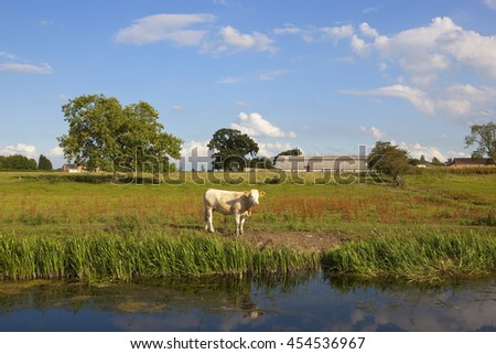 a young brown cow standing beside a canal in a grazing pasture with trees and hedgerows under a blue sky in summer - stock photo