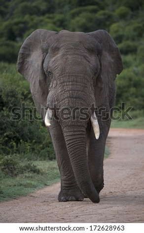 A Young Bull Elephant walks up the hill - stock photo