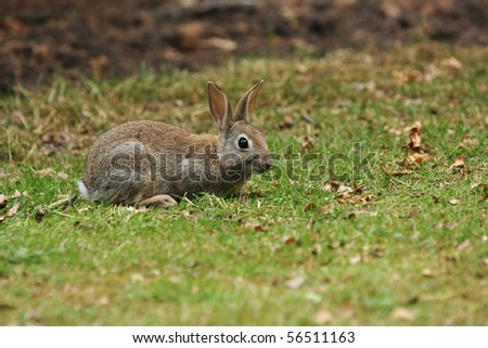 A young bunny rabbit sat in some grass watching the camera - stock photo