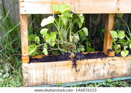 A young cantaloupe plant growing in a slightly modified wooden pallet. - stock photo