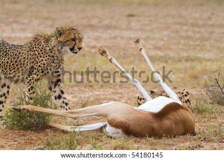 A young cheetah standing next to a dead springbok in the Kalahari desert - stock photo