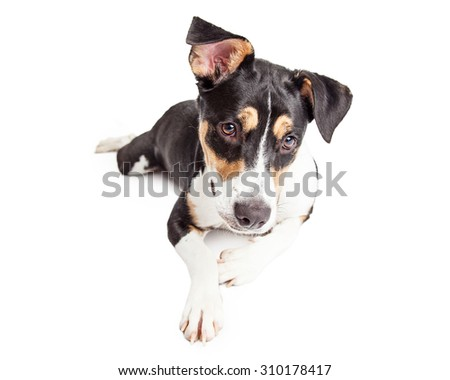 A young cute brown, tan and white color crossbreed dog laying down and looking to the ground - stock photo