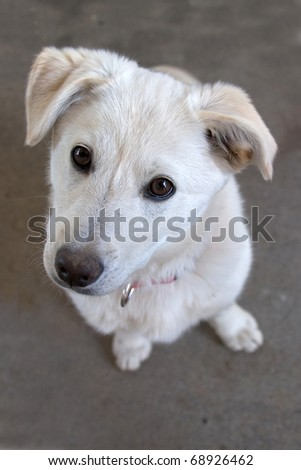 A young dog with big brown eyes looks up at the camera. - stock photo