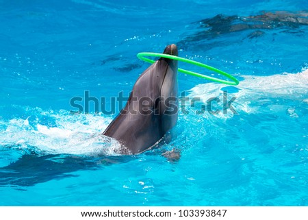 A young dolphin playing in the blue water with a hoop - stock photo