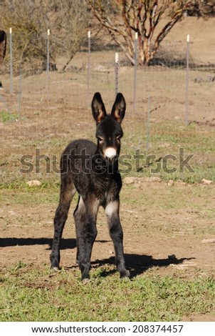 A young donkey foal stands in her pasture on a sunny day. - stock photo