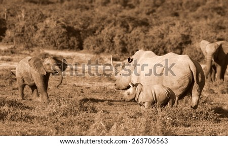 A young elephant charges and trumpets at a female rhinoceros / rhino and her calf. - stock photo