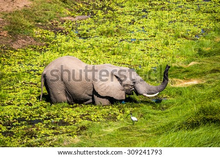A young elephant enjoy some water in the South Luangwa National Park in Zambia, Africa - stock photo
