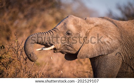 A young Elephant feeds of the bracnhes of a small shrub. - stock photo
