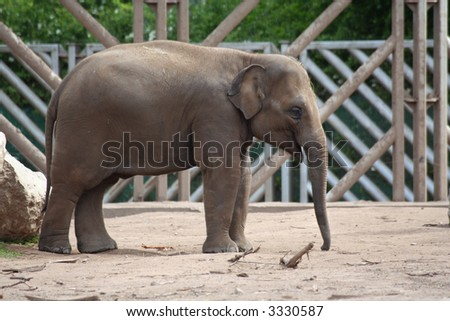 A young elephant from the side - stock photo
