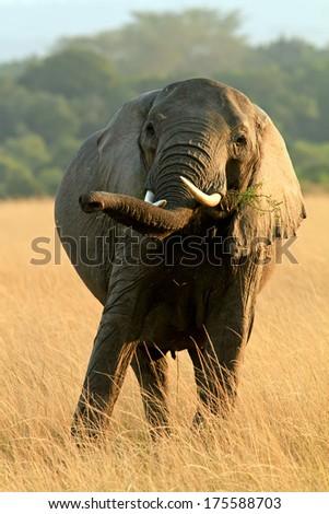 A young elephant (Loxodonta) grazing on the Maasai Mara National Reserve safari in southwestern Kenya. - stock photo