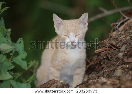 A Young Feral Kitten with Clipped Ears Outside. - stock photo