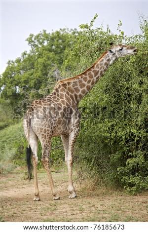 A young giraffe feeding on a tree - stock photo