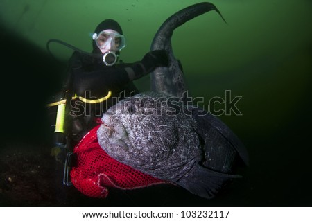 A young girl interacts with a large wolf eel. - stock photo