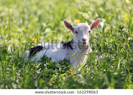 a young goat lying on a green meadow - stock photo
