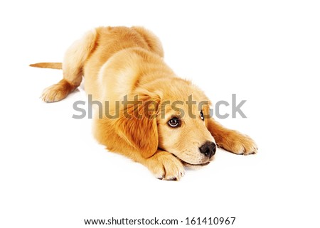 A young Golden Retriever puppy being trained to go into a down position as he is looking up for approval - stock photo