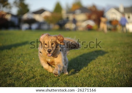 A young Golden Retriever runs towards the position of the camera in a field of green grass. There are autumn colors in the background. - stock photo