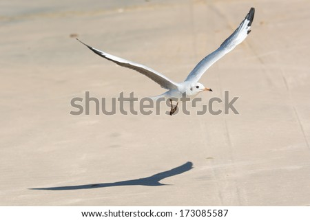 A young Grey-Headed Gull (Larus cirrocephalus) in flight over the sandy beach - stock photo