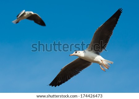 A young Grey-Headed Gull (Larus cirrocephalus) in flight, with a second gull in the background - stock photo
