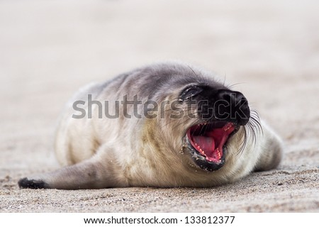 A young Grey Seal (Halichoerus grypus) pup waiting for its' mother to return from sea - stock photo
