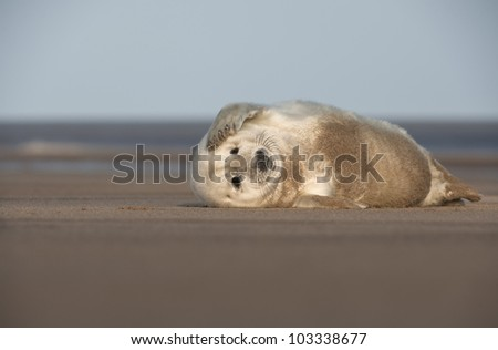 A young Grey Seal pup scratching the side of its' face with its' front flipper. Photographed at Donna Nook on the Lincolnshire coast in the United Kingdom. - stock photo