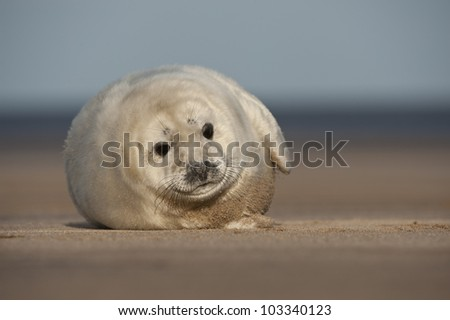 A young Grey Seal pup waiting for its' mother to return from hunting, and taking an interest in the camera.. Photographed at Donna Nook on the Lincolnshire coast in the United Kingdom. - stock photo