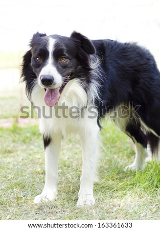 A young, healthy, beautiful, black and white Border Collie dog standing on the grass looking very happy. The Scottish Sheep Dog is ranked as one of the most intelligent breeds - stock photo