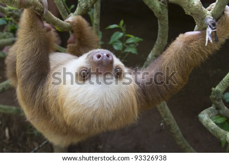 A young Hoffmann's two-toed sloth (Choloepus hoffmanni) in Puerto Viejo, Costa Rica. - stock photo