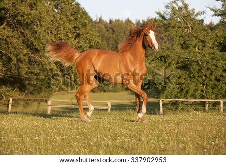 a young Holsteiner chestnut mare running freely in a pasture - stock photo
