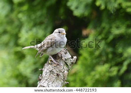 A young House sparrow on a tree.  - stock photo