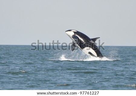 A young killer whale breaches in the Strait of Georgia near Vancouver, BC. - stock photo