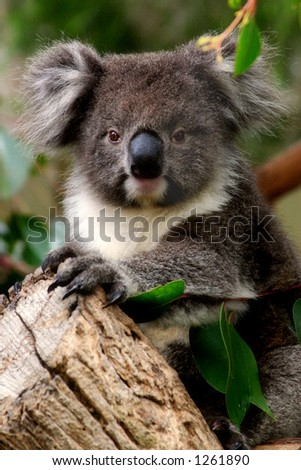 A young koala in a gum tree in South Australia. - stock photo