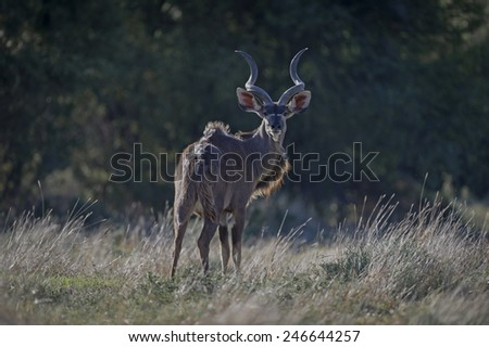 A young Kudu Bull is surprised by the photographer - stock photo