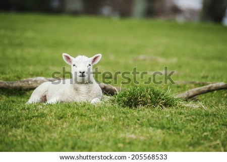 A young lamb waits calmly and patiently for it's mother in the green pasture. - stock photo