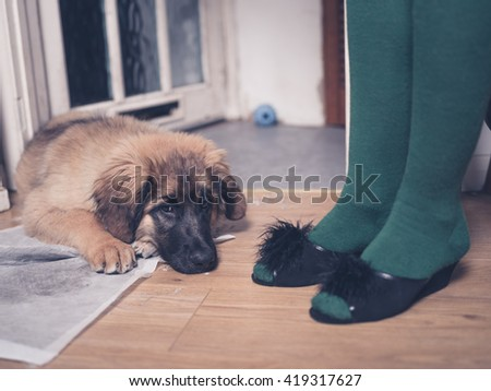 A young Leonberger puppy is lying on the floor with her head in her dirty training pad next to the legs of a woman wearing slippers - stock photo