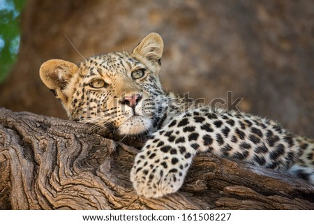 A young leopard cub resting on the branch of a tree - stock photo