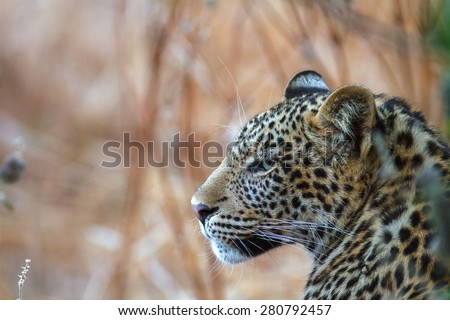 A young leopard look back over her shoulder as she walks through the dry grass in a game reserve in Botswana - stock photo