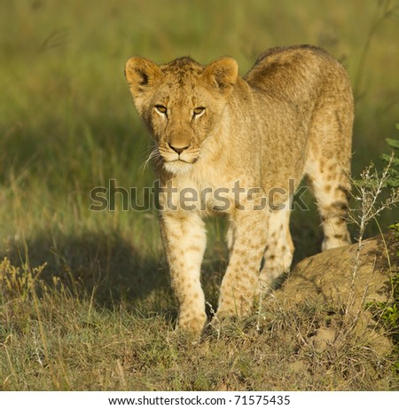 A young lion cub. - stock photo