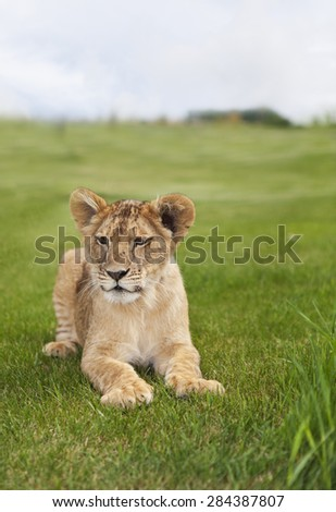 A young lion cub laying in the grass. - stock photo